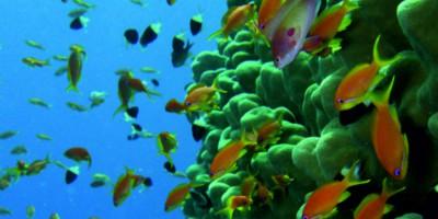 Голубой  коралл (Blue coral)